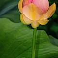 Sacred Lotus Bud by Susan Candelario