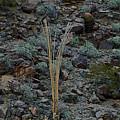 Saguaro Spines by Darryl Treon