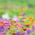 Salvia Viridis Rosea In An English Garden by Tim Gainey