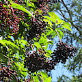 Sambucus Elderberry Sureau by Lyssjart Sj