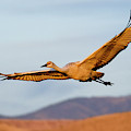 Sandhill Crane by Nicole Young