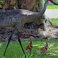Sandhill Crane With Colts by Larah McElroy