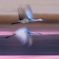 Sandhill Cranes Flying Over Lake by Panoramic Images