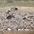 Sandhill Cranes Gather by Jean Clark