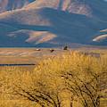 Sandhill Cranes Near The Bosque by Jeff Phillippi