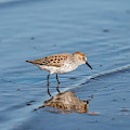 Sandpiper And Reflection by Robert Potts