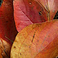 Sassafras Autumn by Anne Ditmars