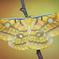 Saturniidae Moth by Marco Fischer