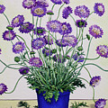 Scabious by Christopher Ryland