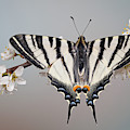 Scarce Swallowtail by Marco Fischer