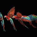 Scarlet Macaw Parrot In Flight by Tim Platt