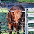 Scottish Highland Cattle II
