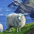 Scottish Sheep With Lamb by Arterra Picture Library