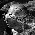 Sea Lion Pup by Edward Fielding