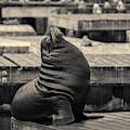 Sea Lion Vi Toned by David Gordon