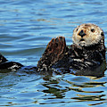 Sea Otter Primping by Susan Wiedmann