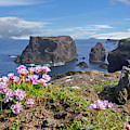 Sea Pink Flowers On Scottish Cliff Top by Arterra Picture Library