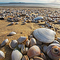 Sea Shells On Revere Beach Revere Ma by Toby McGuire