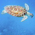 Sea Turtle And Fish Swimming by Mark Hunter