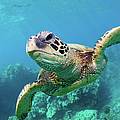 Sea Turtle, Hawaii by M Swiet Productions