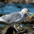 Seagull Carrying Snail by Michael D Miller