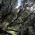 Secular Tree by Edgar Laureano