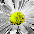 Selective Yellow Color Chrysanthemum by Keith Smith