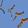 Sequence Of Diving White-tailed Eagle by Arterra Picture Library