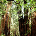 Sequoias In The Muir Woods by Christiane Schulze Art And Photography