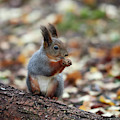 Shadow Boxing. Red Squirrel by Jouko Lehto