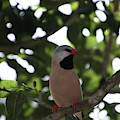 Shafttail Finch - Dwp090310010 by Dean Wittle