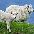 Sheep And Lamb, Scotland by Arterra Picture Library