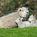 Sheep Ewe With Two Lambs by Arterra Picture Library