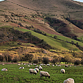 Sheep Grazing In Peak by Michelle Mcmahon