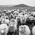 Sheeps Eyes by Raymond Kleboe