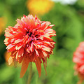 Sherbet Colored Dahlia by Cynthia Guinn