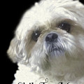 Shih Tzu For Mom-bubba by Ericamaxine Price