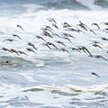 Shorebirds Fly By by Robert Potts