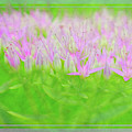 Showy Stonecrop Framed by Maria Costello