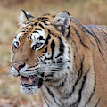 Siberian Tiger -8383 By Tl Wilson Photography by Teresa Wilson