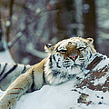 Siberian Tiger At The Bronx Zoo Is by New York Daily News Archive