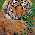 Siberian Tiger Cub Endangered Species Wildlife Rescue by Dave Welling