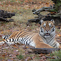 Siberian Tiger Lounging In Fall Leaves By Tl Wilson Photography  by Teresa Wilson