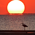 Silhouette Of Great Blue Heron Ardea by Danita Delimont
