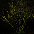 Silky Tree by Bill Posner