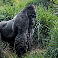 Silverback Stare 1806 by Donald Brown