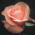 Single Peach Rose by Julie Palencia