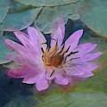 Single Pink Water Lily by Pamela Walton
