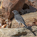 Slate-colored Junco Dsb0339 by Gerry Gantt