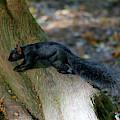 Sleek Black Squirrel Eastern Gray by Sharon Talson